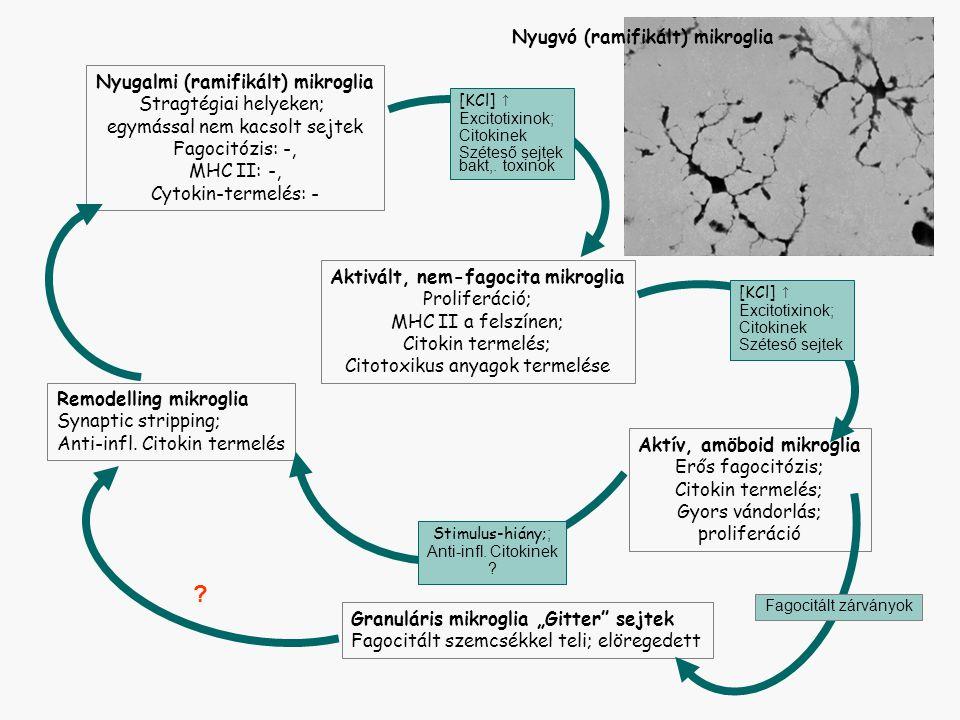 """Nyugalmi (ramifikált) mikroglia Stragtégiai helyeken; egymással nem kacsolt sejtek Fagocitózis: -, MHC II: -, Cytokin-termelés: - Aktivált, nem-fagocita mikroglia Proliferáció; MHC II a felszínen; Citokin termelés; Citotoxikus anyagok termelése Aktív, amöboid mikroglia Erős fagocitózis; Citokin termelés; Gyors vándorlás; proliferáció Granuláris mikroglia """"Gitter sejtek Fagocitált szemcsékkel teli; elöregedett Nyugvó (ramifikált) mikroglia Remodelling mikroglia Synaptic stripping; Anti-infl."""