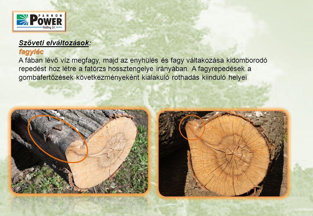 fagyléc Szöveti elváltozások: fagyléc A fában lévő víz megfagy, majd az enyhülés és fagy váltakozása kidomborodó repedést hoz létre a fatörzs hosszten