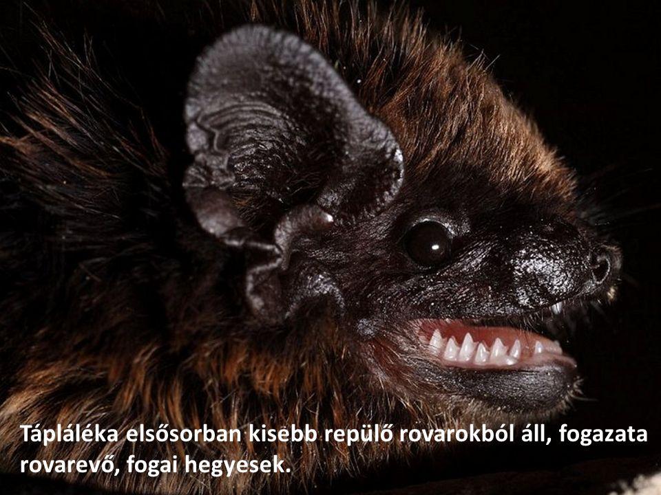 Tápláléka elsősorban kisebb repülő rovarokból áll, fogazata rovarevő, fogai hegyesek.