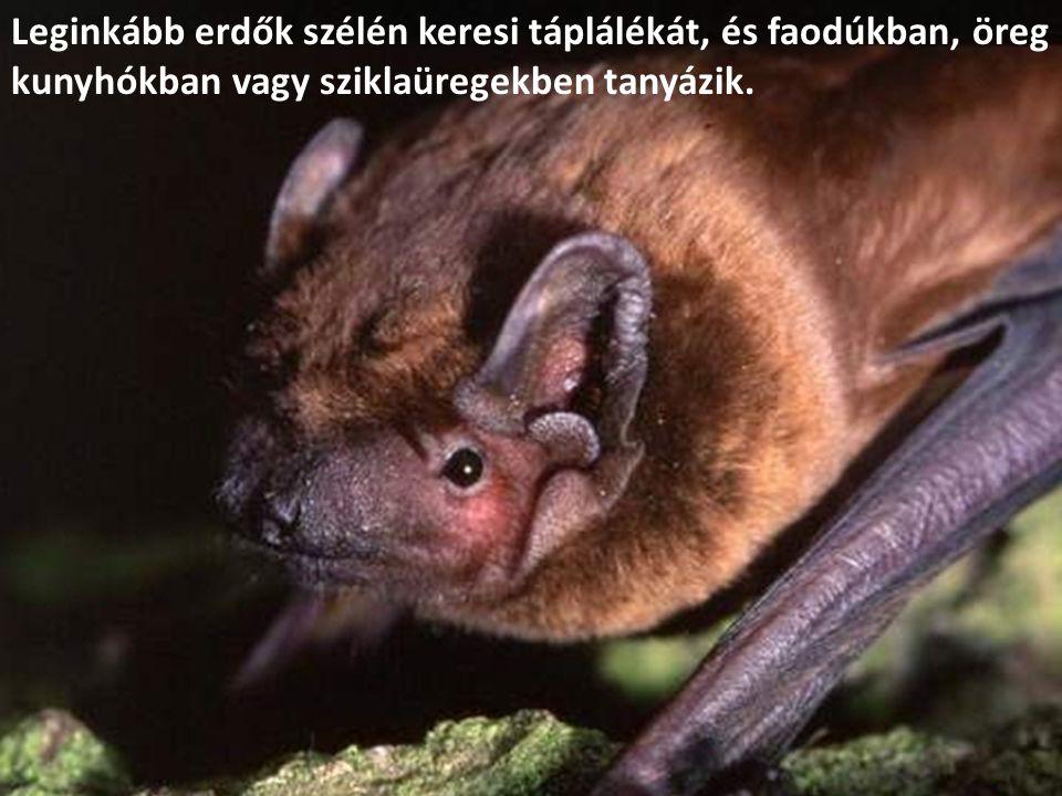 Leginkább erdők szélén keresi táplálékát, és faodúkban, öreg kunyhókban vagy sziklaüregekben tanyázik.