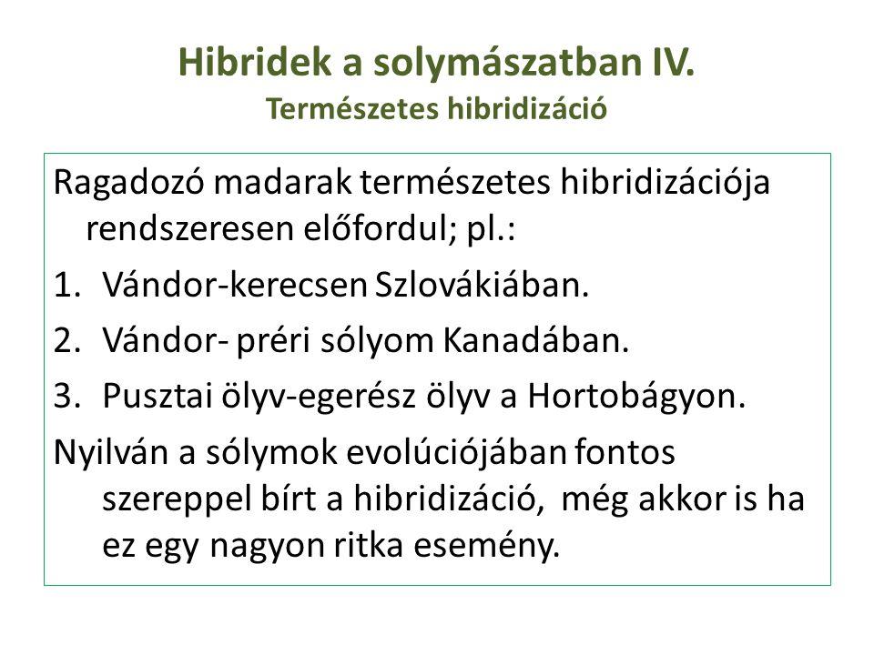 Hibridek a solymászatban IV. Természetes hibridizáció Ragadozó madarak természetes hibridizációja rendszeresen előfordul; pl.: 1.Vándor-kerecsen Szlov