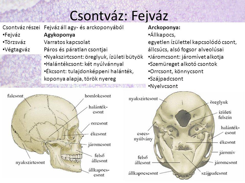 Csontváz: Fejváz Csontváz részei Fejváz Törzsváz Végtagváz Fejváz áll agy- és arckoponyából Agykoponya Varratos kapcsolat Páros és páratlan csontjai Nyakszirtcsont: öreglyuk, ízületi bütyök Halántékcsont: két nyúlvánnyal Ékcsont: tulajdonképpeni halánték, koponya alapja, török nyereg Arckoponya: Állkapocs, egyetlen ízülettel kapcsolódó csont, állcsúcs, alsó fogsor alveolúsai Járomcsont: járomívet alkotja Szemüreget alkotó csontok Orrcsont, könnycsont Szájpadcsont Nyelvcsont