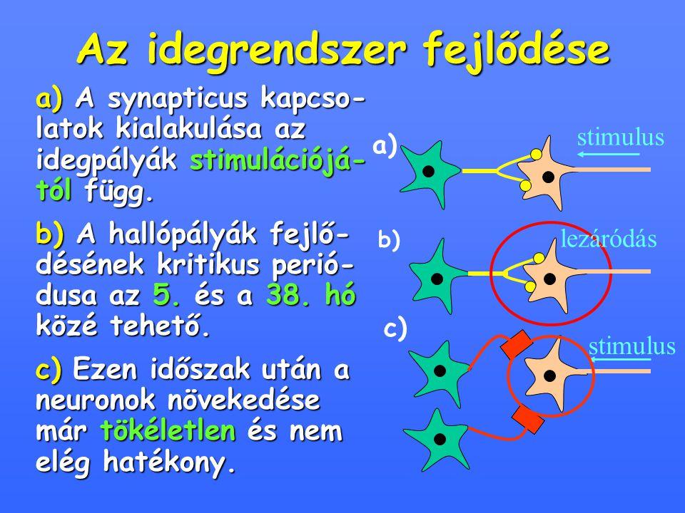 Az idegrendszer fejlődése a) A synapticus kapcso- latok kialakulása az idegpályák stimulációjá- tól függ. b) A hallópályák fejlő- désének kritikus per