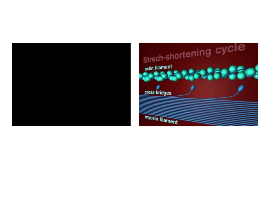 Nyújtásos-rövidüléses ciklus