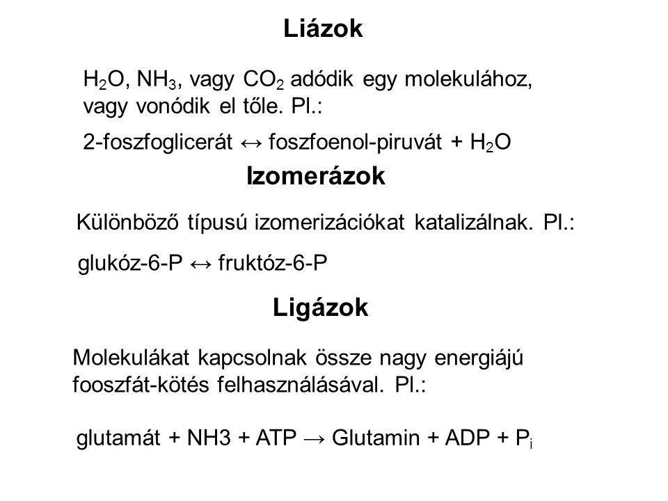 Liázok H 2 O, NH 3, vagy CO 2 adódik egy molekulához, vagy vonódik el tőle. Pl.: 2-foszfoglicerát ↔ foszfoenol-piruvát + H 2 O Izomerázok Különböző tí