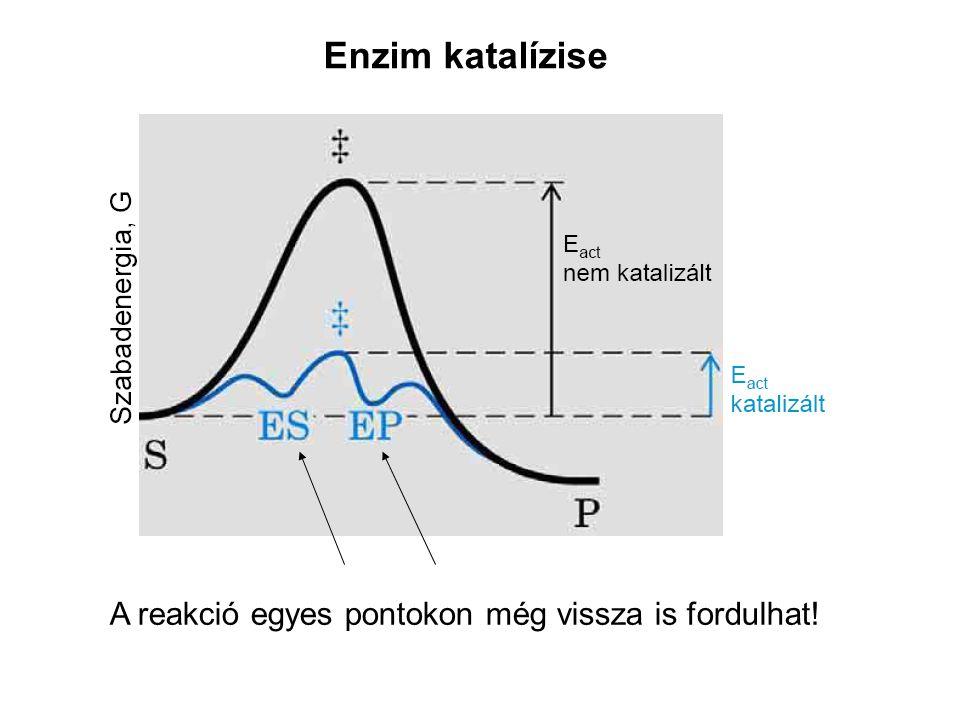 Enzim katalízise A reakció egyes pontokon még vissza is fordulhat!