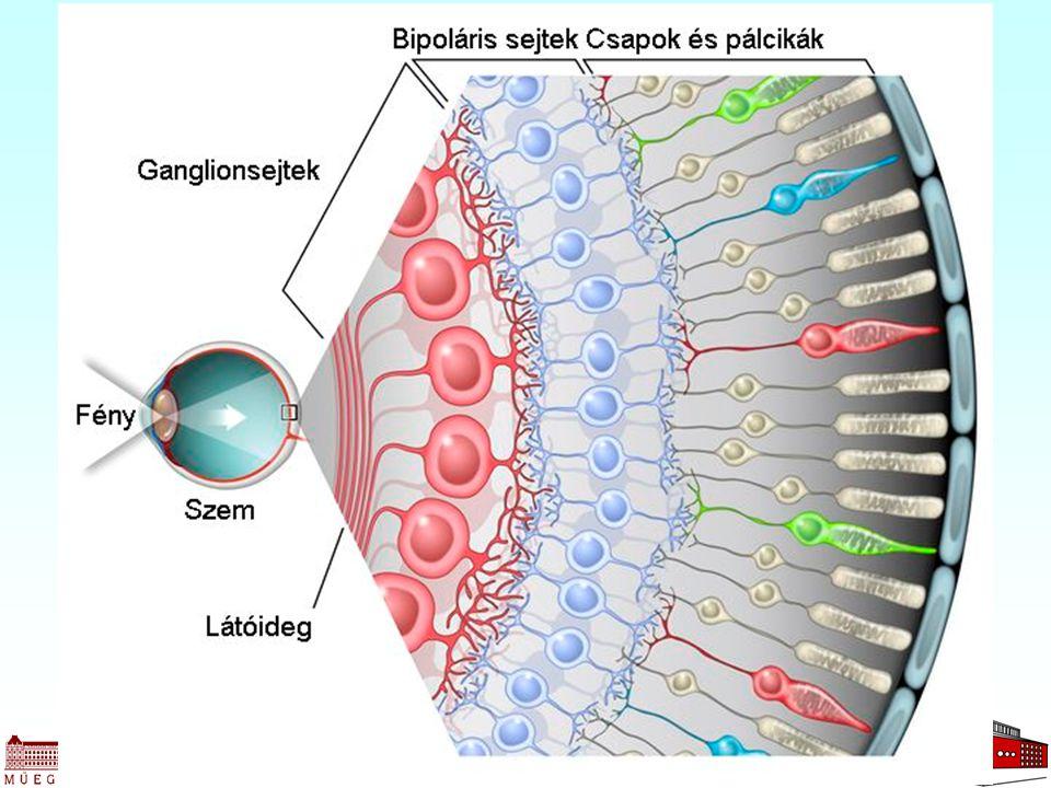 Retina felépítése 17