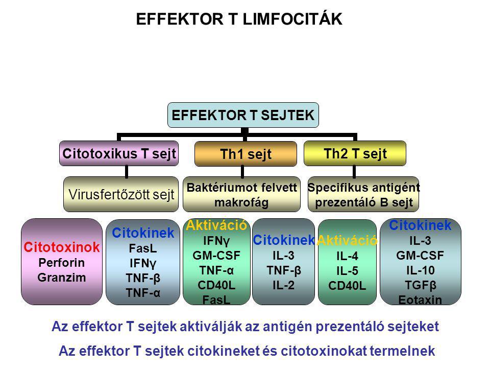 Virusfertőzött sejt Baktériumot felvett makrofág Specifikus antigént prezentáló B sejt Citotoxinok Perforin Granzim Citokinek FasL IFNγ TNF-β TNF-α Aktiváció IFNγ GM-CSF TNF-α CD40L FasL Citokinek IL-3 GM-CSF IL-10 TGFβ Eotaxin Aktiváció IL-4 IL-5 CD40L Citokinek IL-3 TNF-β IL-2 EFFEKTOR T LIMFOCITÁK Az effektor T sejtek aktiválják az antigén prezentáló sejteket Az effektor T sejtek citokineket és citotoxinokat termelnek