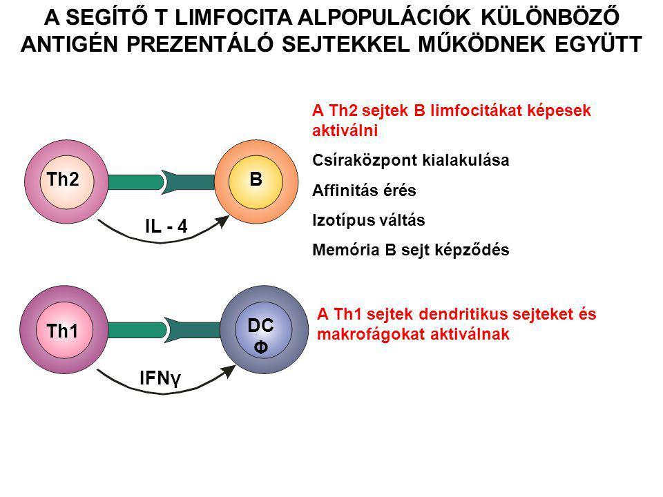 Th1 DC Φ IFNγ Th2B IL - 4 A Th2 sejtek B limfocitákat képesek aktiválni Csíraközpont kialakulása Affinitás érés Izotípus váltás Memória B sejt képződé