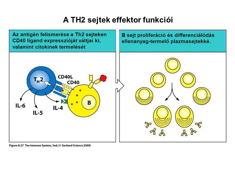 A TH2 sejtek effektor funkciói Az antigén felismerése a Th2 sejteken CD40 ligand expresszióját váltjai ki, valamint citokinek termelését B sejt proliferáció és differenciálódás ellenanyag-termelő plazmasejtekké.