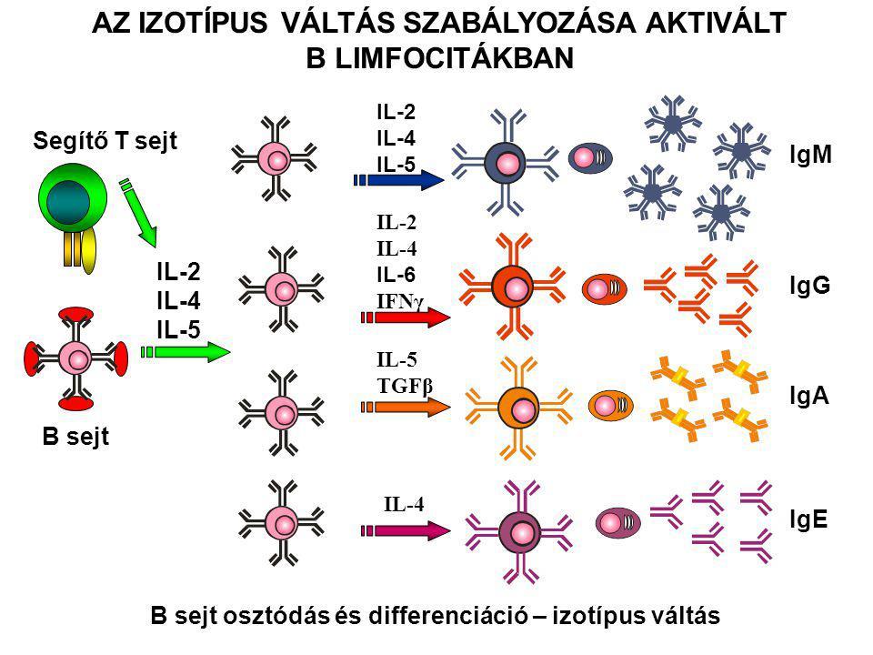 B sejt Segítő T sejt IL-2 IL-4 IL-5 IL-2 IL-4 IL-5 IgM IgG IgA IgE IL-2 IL-4 IL-6 IFNγ IL-5 TGFβ IL-4 AZ IZOTÍPUS VÁLTÁS SZABÁLYOZÁSA AKTIVÁLT B LIMFO