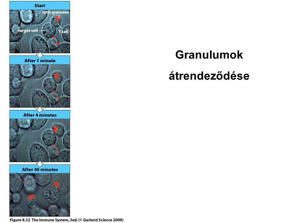 Granulumok átrendeződése