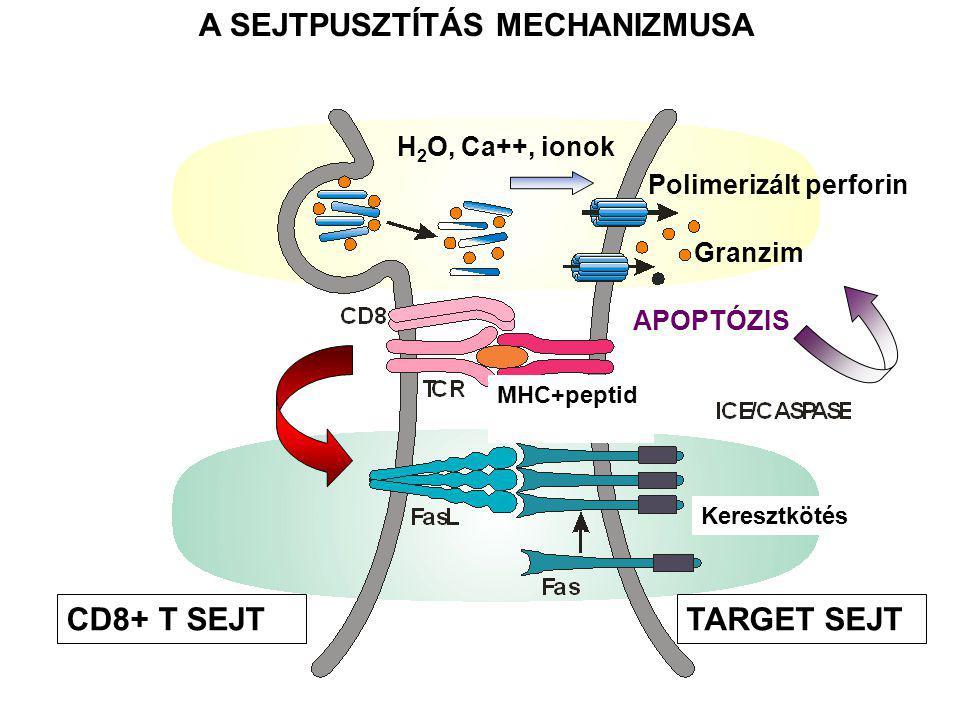 A SEJTPUSZTÍTÁS MECHANIZMUSA CD8+ T SEJTTARGET SEJT H 2 O, Ca++, ionok Granzim Polimerizált perforin APOPTÓZIS Keresztkötés MHC+peptid