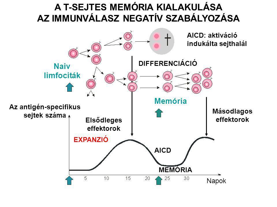 DIFFERENCIÁCIÓ A T-SEJTES MEMÓRIA KIALAKULÁSA AZ IMMUNVÁLASZ NEGATÍV SZABÁLYOZÁSA Naiv limfociták Az antigén-specifikus sejtek száma Elsődleges effektorok Másodlagos effektorok Memória AICD: aktiváció indukálta sejthalál EXPANZIÓ AICD MEMÓRIA Napok