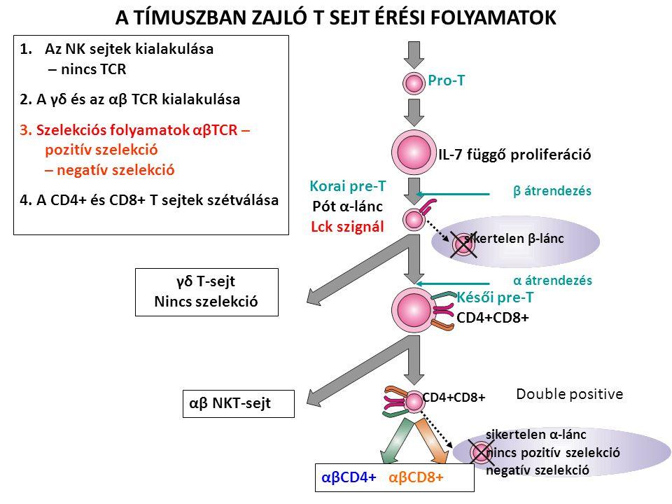 1.Az NK sejtek kialakulása – nincs TCR 2. A γδ és az αβ TCR kialakulása 3. Szelekciós folyamatok αβTCR – pozitív szelekció – negatív szelekció 4. A CD