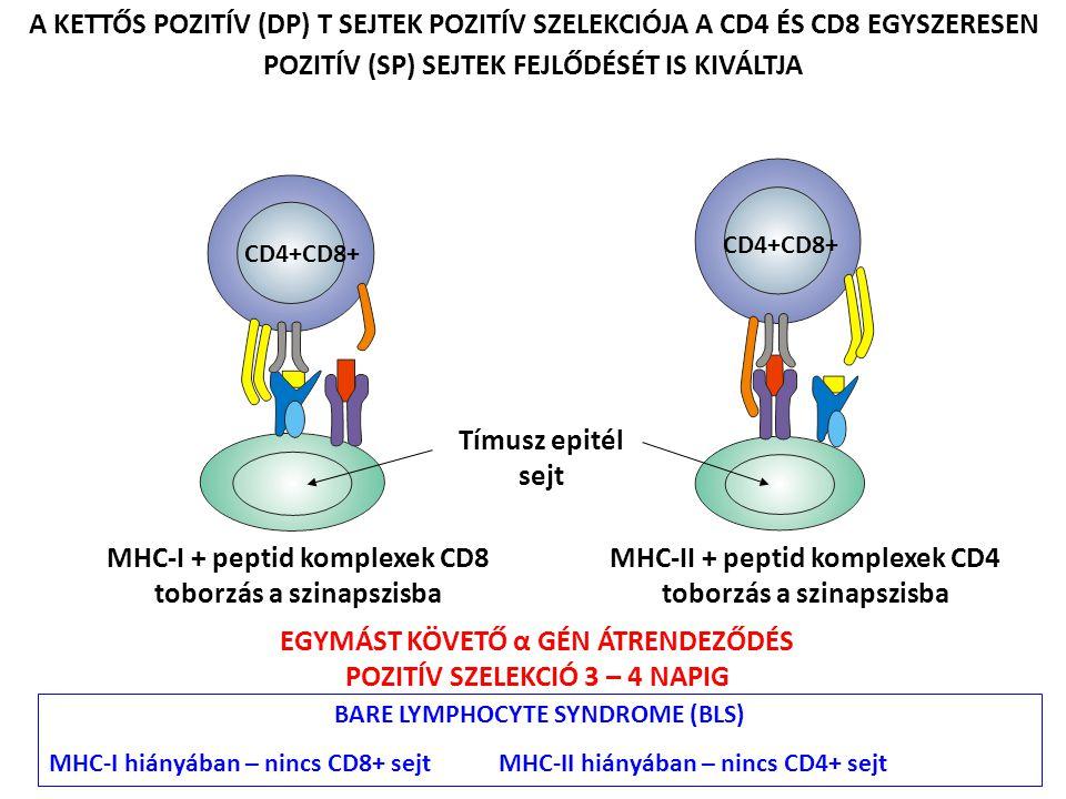 POZITÍV SZELEKCIÓ Tímuszon belüli tanulási folyamat - nincs instrukció a specificitásra Kis aviditású saját MHC + saját peptid + TCR kölcsönhatás Tímusz epitél sejtek felszínén Saját peptidek összetétele, koncentrációja (idegen peptidek nincsenek jelen) Alacsony peptid dózis pozitív szelekciót eredményez – speciális ligand A DP T sejtek 80-90%-a NEM vesz részt a pozitív szelekcióban PASSZÍV SEJT HALÁL A NEGLEKCIÓ MIATT NEGATÍV SZELEKCIÓ Centrális tolerancia Nagy aviditású saját MHC + saját peptid + TCR kölcsönhatás Bármely tímuszon belüli antigén prezentáló sejt részvételével Epitél sejtek, csontvelői eredetű makrofágok és dendritikus sejtek Saját peptidek összetétele, koncentrációja Magas peptid dózis negatív szelekciót eredményez – speciális ligand Perifériás szövetek antigénjei.