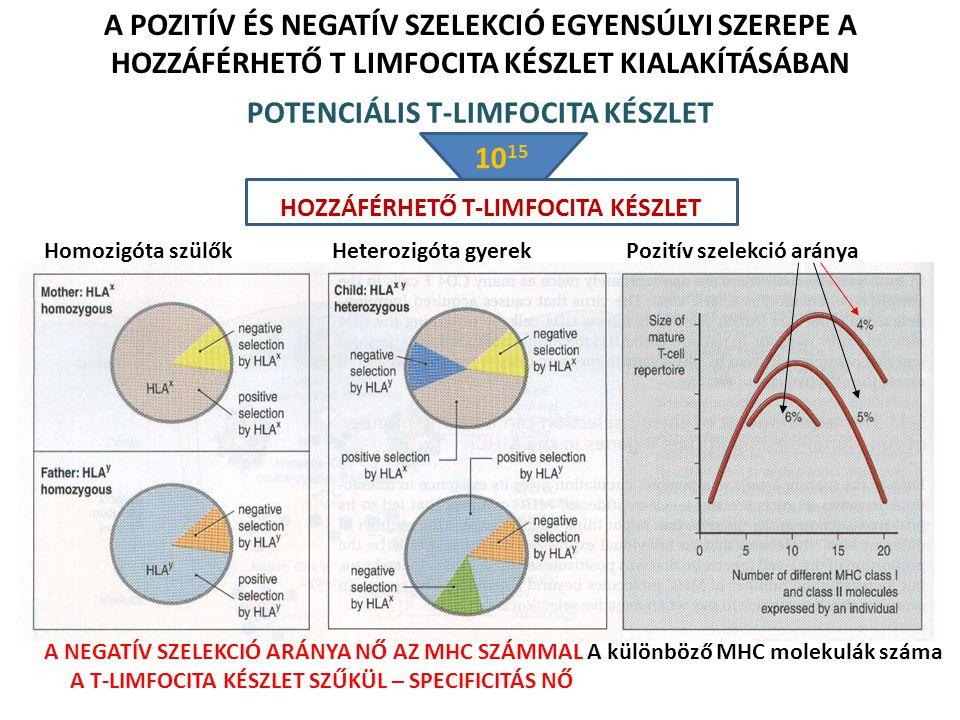 A POZITÍV ÉS NEGATÍV SZELEKCIÓ EGYENSÚLYI SZEREPE A HOZZÁFÉRHETŐ T LIMFOCITA KÉSZLET KIALAKÍTÁSÁBAN Homozigóta szülők Heterozigóta gyerek A különböző MHC molekulák száma Pozitív szelekció aránya A NEGATÍV SZELEKCIÓ ARÁNYA NŐ AZ MHC SZÁMMAL A T-LIMFOCITA KÉSZLET SZŰKÜL – SPECIFICITÁS NŐ POTENCIÁLIS T-LIMFOCITA KÉSZLET HOZZÁFÉRHETŐ T-LIMFOCITA KÉSZLET 10 15