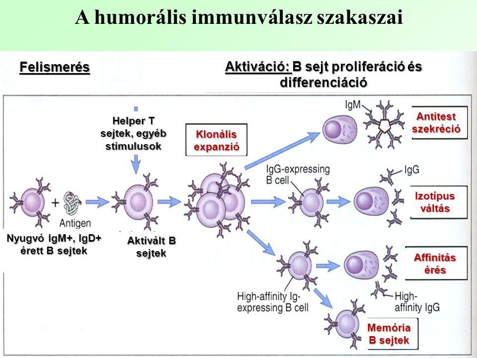 A humorális immunválasz szakaszai Felismerés Aktiváció: B sejt proliferáció és differenciáció Nyugvó IgM+, IgD+ érett B sejtek Aktivált B sejtek Helper T sejtek, egyéb stimulusok Klonális expanzió Antitest szekréció Izotípus váltás Affinitás érés Memória B sejtek