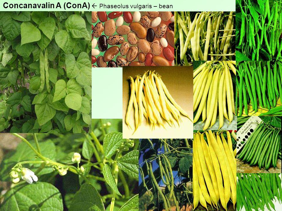 Concanavalin A (ConA)  Phaseolus vulgaris – bean