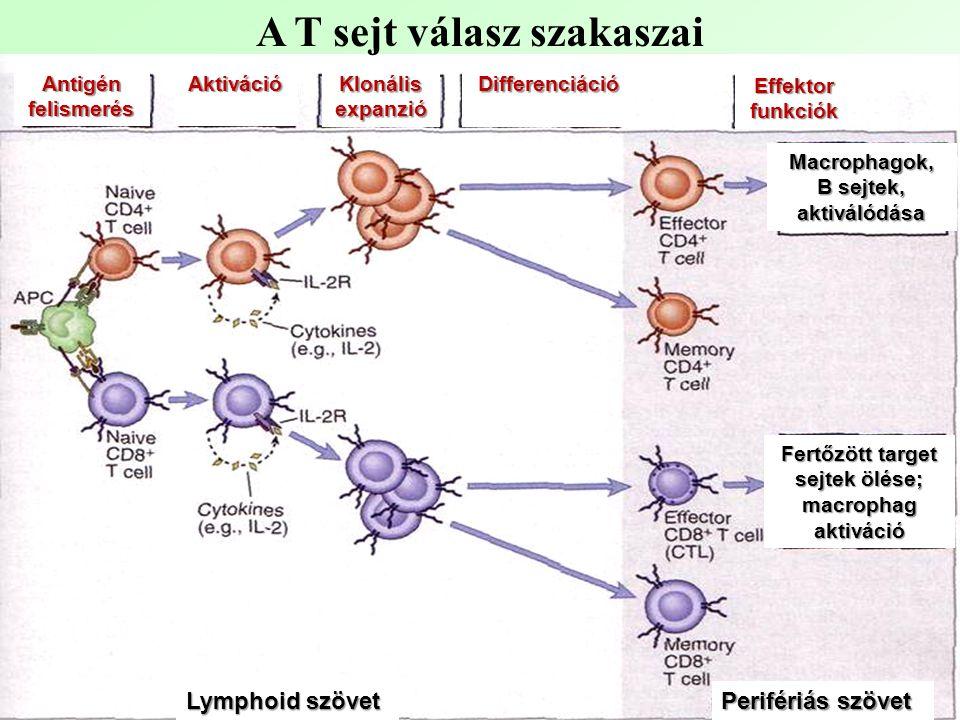 A T sejt válasz szakaszai Klonális expanzió Antigén felismerés Differenciáció Aktiváció Effektor funkciók Macrophagok, B sejtek, aktiválódása Fertőzött target sejtek ölése; macrophag aktiváció Perifériás szövet Lymphoid szövet