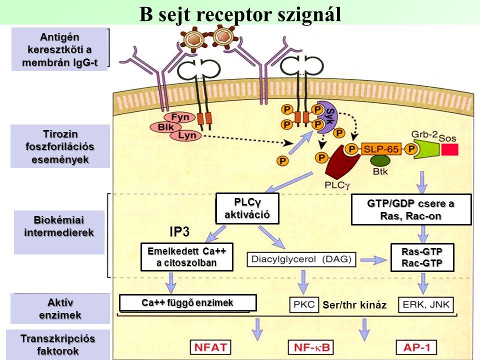 B sejt receptor szignál Antigén keresztköti a membrán IgG-t Tirozin foszforilációs események Aktívenzimek Biokémiai intermedierek Transzkripciós faktorok PLCγ aktiváció Ras-GTPRac-GTP Emelkedett Ca++ a citoszolban GTP/GDP csere a Ras, Rac-on Ca++ függő enzimek IP3 Ser/thr kináz