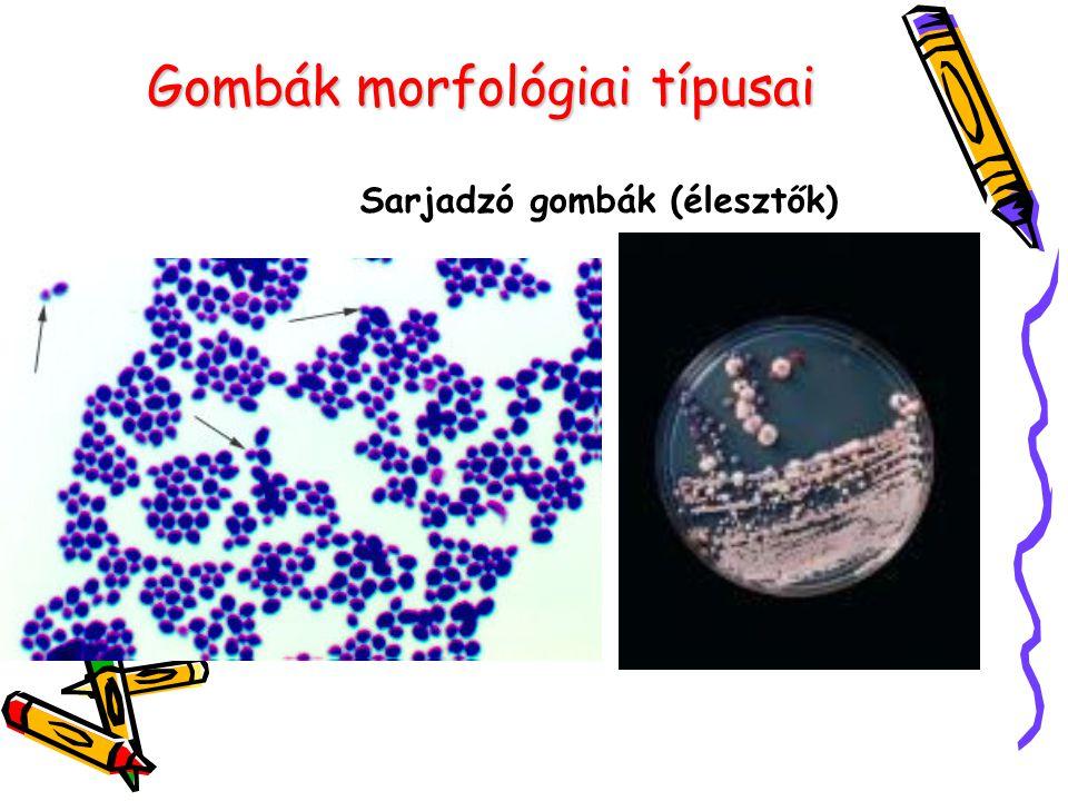 Gombák morfológiai típusai Fonalas gombák