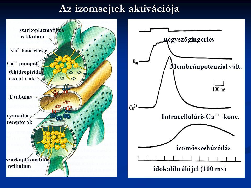 Az izomsejtek aktivációja négyszögingerlés időkalibráló jel (100 ms) izomösszehúzódás Intracelluláris Ca ++ konc. Membránpotenciál vált. szarkoplazmat
