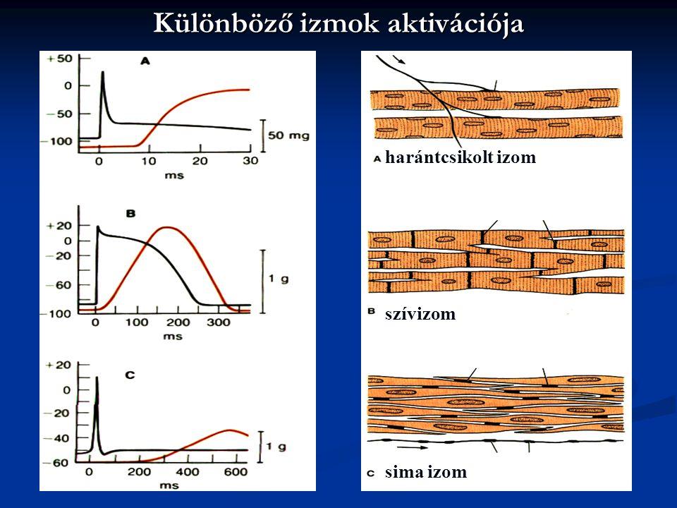 Különböző izmok aktivációja szívizom harántcsikolt izom sima izom