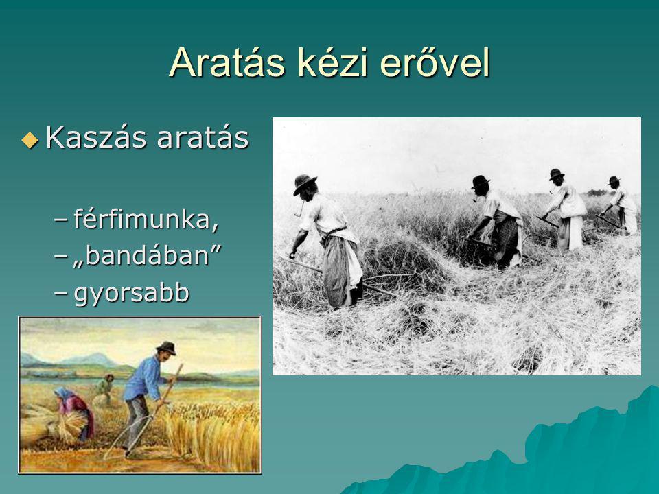 """Aratás kézi erővel  Kaszás aratás –férfimunka, –""""bandában"""" –gyorsabb"""