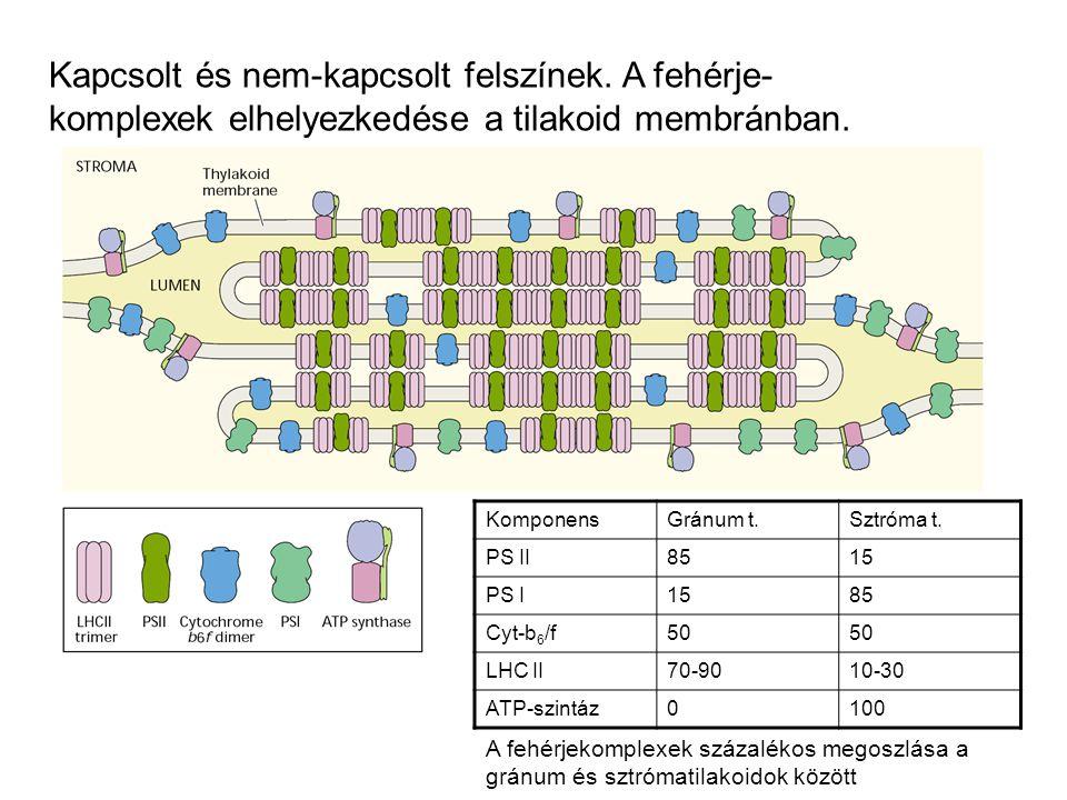 Kapcsolt és nem-kapcsolt felszínek.A fehérje- komplexek elhelyezkedése a tilakoid membránban.