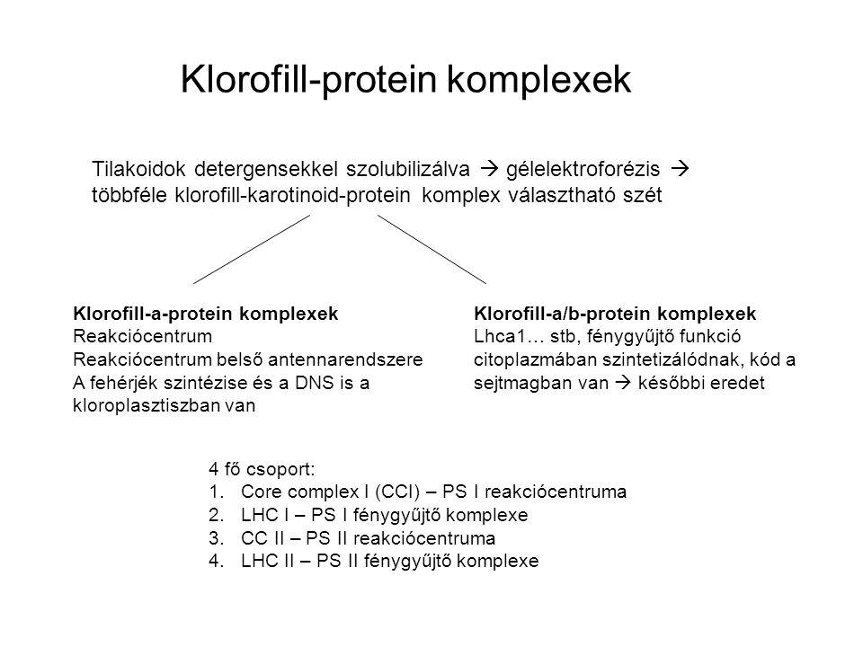 Klorofill-protein komplexek Tilakoidok detergensekkel szolubilizálva  gélelektroforézis  többféle klorofill-karotinoid-protein komplex választható szét Klorofill-a-protein komplexek Reakciócentrum Reakciócentrum belső antennarendszere A fehérjék szintézise és a DNS is a kloroplasztiszban van Klorofill-a/b-protein komplexek Lhca1… stb, fénygyűjtő funkció citoplazmában szintetizálódnak, kód a sejtmagban van  későbbi eredet 4 fő csoport: 1.Core complex I (CCI) – PS I reakciócentruma 2.LHC I – PS I fénygyűjtő komplexe 3.CC II – PS II reakciócentruma 4.LHC II – PS II fénygyűjtő komplexe
