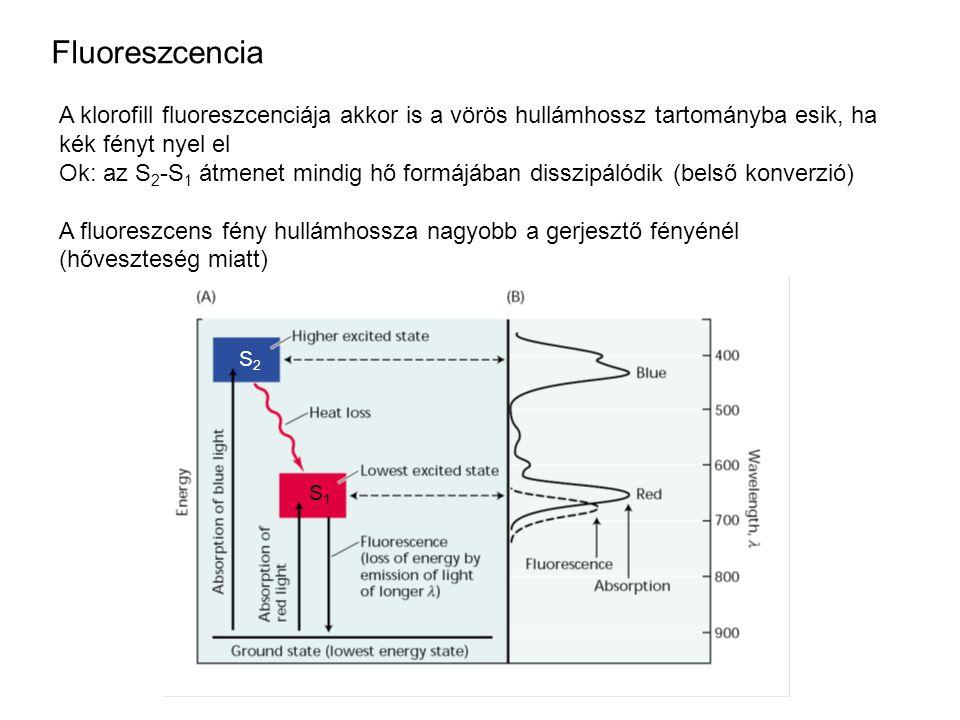 A klorofill fluoreszcenciája akkor is a vörös hullámhossz tartományba esik, ha kék fényt nyel el Ok: az S 2 -S 1 átmenet mindig hő formájában disszipálódik (belső konverzió) A fluoreszcens fény hullámhossza nagyobb a gerjesztő fényénél (hőveszteség miatt) Fluoreszcencia S1S1 S2S2