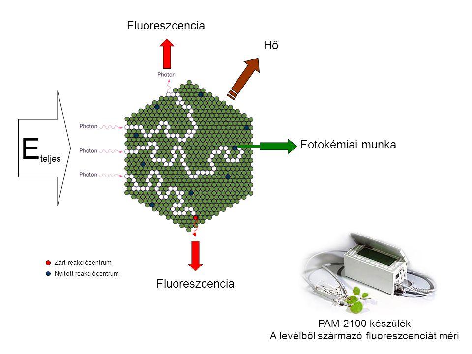 E teljes Fluoreszcencia Fotokémiai munka Hő Zárt reakciócentrum Nyitott reakciócentrum Fluoreszcencia PAM-2100 készülék A levélből származó fluoreszcenciát méri