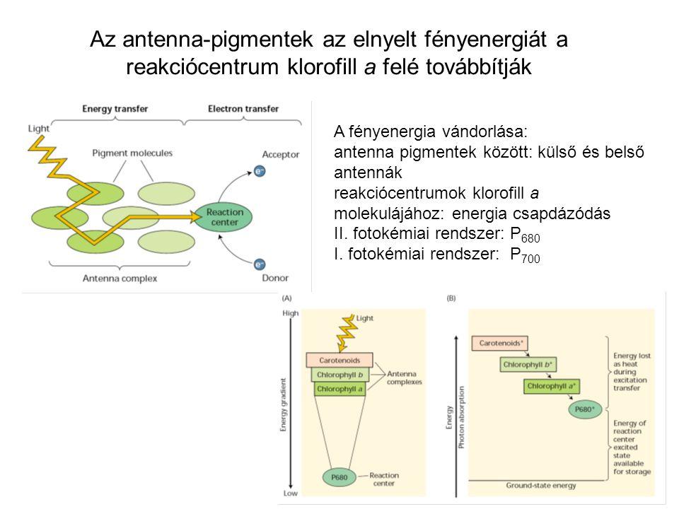 Az antenna-pigmentek az elnyelt fényenergiát a reakciócentrum klorofill a felé továbbítják A fényenergia vándorlása: antenna pigmentek között: külső és belső antennák reakciócentrumok klorofill a molekulájához: energia csapdázódás II.