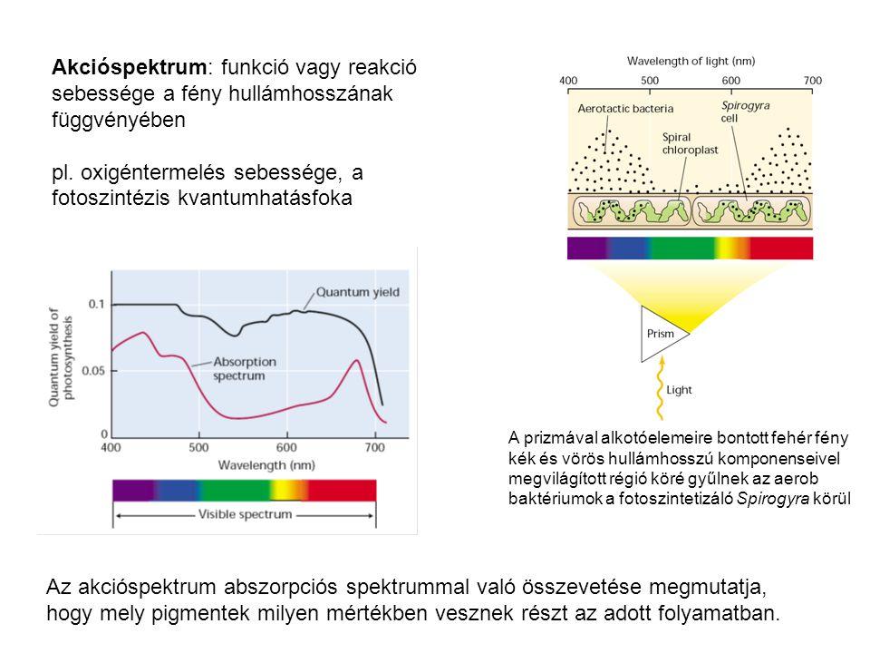Akcióspektrum: funkció vagy reakció sebessége a fény hullámhosszának függvényében pl.