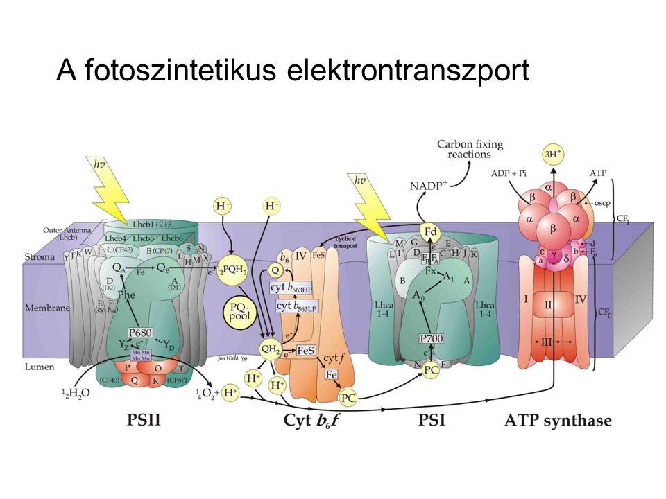 A fotoszintetikus elektrontranszport
