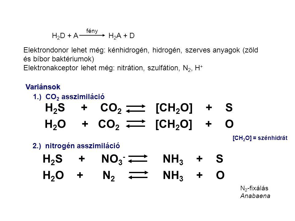 Elektrondonor lehet még: kénhidrogén, hidrogén, szerves anyagok (zöld és bíbor baktériumok) Elektronakceptor lehet még: nitrátion, szulfátion, N 2, H + H 2 S + CO 2 [CH 2 O] + S H 2 O + CO 2 [CH 2 O] + O H 2 S + NO 3 - NH 3 + S H 2 O + N 2 NH 3 + O 1.) CO 2 asszimiláció 2.) nitrogén asszimiláció Variánsok [CH 2 O] = szénhidrát H 2 D + A H 2 A + D fény N 2 -fixálás Anabaena