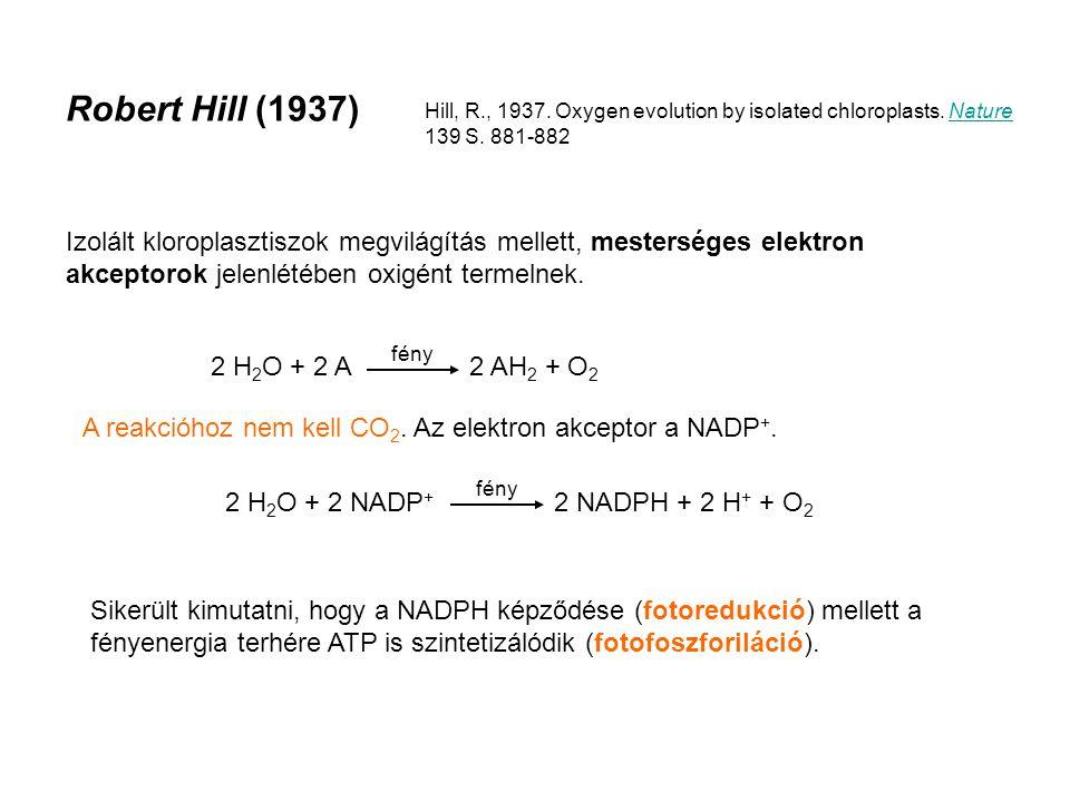 Hill és Bendall, 1960 A citokróm f oxidációja a kloroplasztiszban.