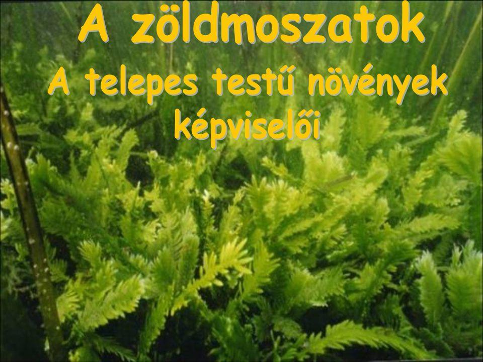 A fejlettebb növények közé tartozik, 10 m-es mélységig előforduló zárvatermő.