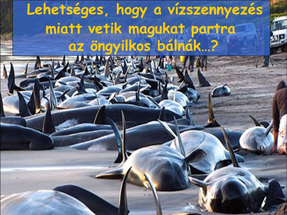 Lehetséges, hogy a vízszennyezés miatt vetik magukat partra az öngyilkos bálnák…?