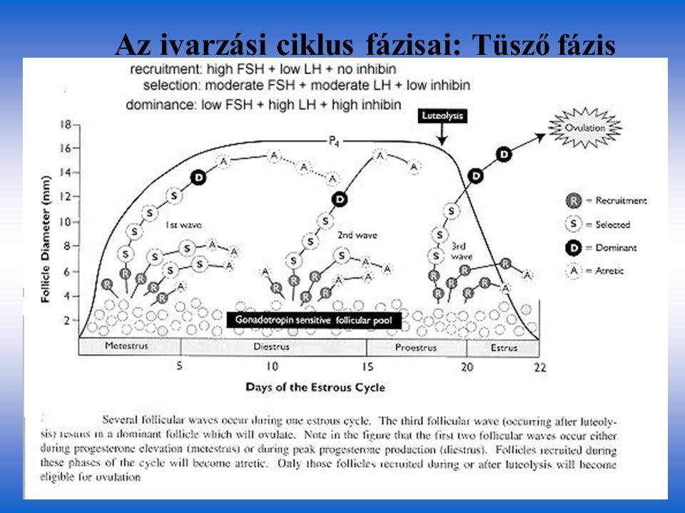 Az ivarzási ciklus fázisai: Tüsző fázis