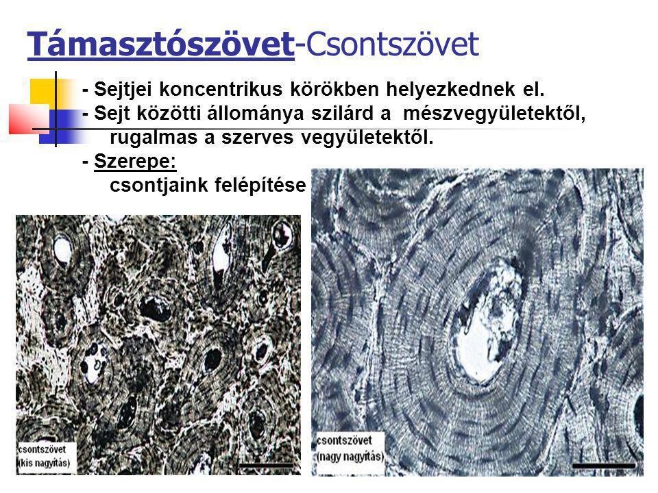 27 Támasztószövet-Csontszövet - Sejtjei koncentrikus körökben helyezkednek el. - Sejt közötti állománya szilárd a mészvegyületektől, rugalmas a szerve