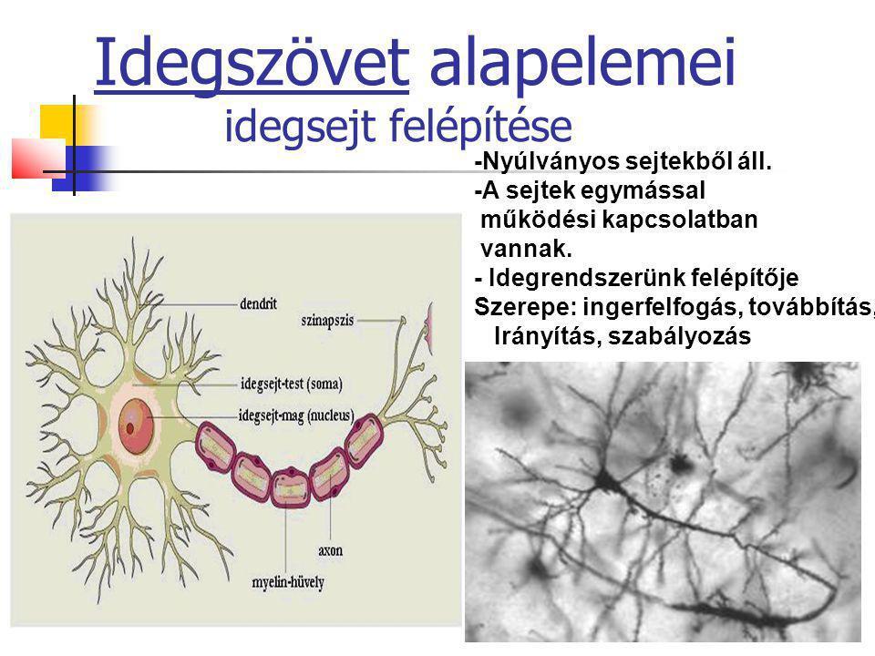 31 Idegszövet alapelemei idegsejt felépítése -Nyúlványos sejtekből áll. -A sejtek egymással működési kapcsolatban vannak. - Idegrendszerünk felépítője
