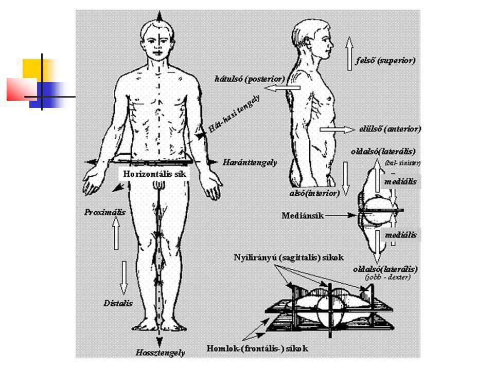 29 Izomszövet harántcsíkolt / váz / izomszövet - Akaratunktól függően működik.