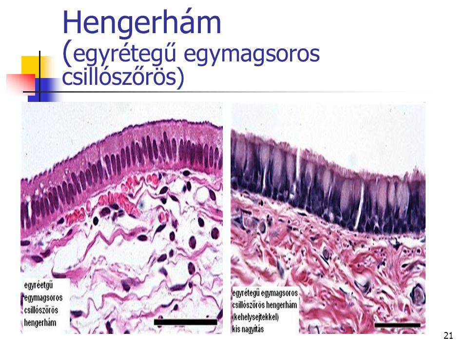 21 Hengerhám ( egyrétegű egymagsoros csillószőrös)