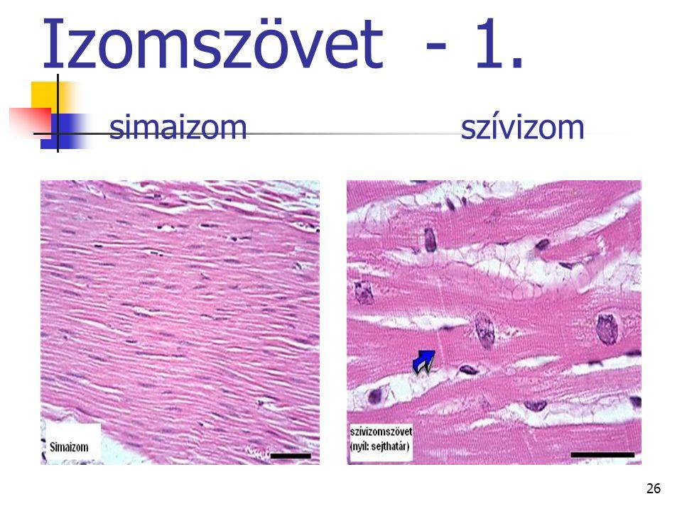 26 Izomszövet - 1. simaizom szívizom