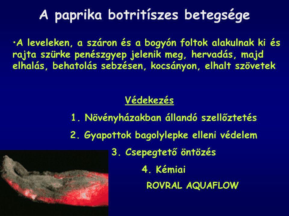 A paprika botritíszes betegsége A leveleken, a száron és a bogyón foltok alakulnak ki és rajta szürke penészgyep jelenik meg, hervadás, majd elhalás,