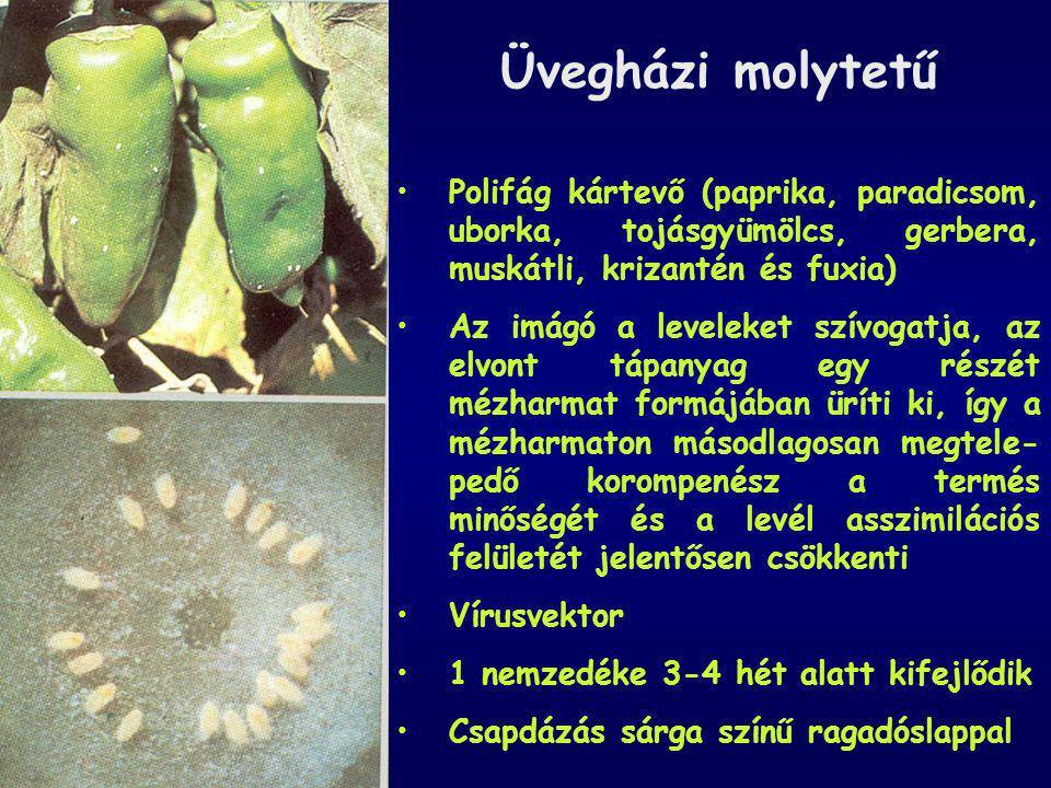 Üvegházi molytetű Polifág kártevő (paprika, paradicsom, uborka, tojásgyümölcs, gerbera, muskátli, krizantén és fuxia) Az imágó a leveleket szívogatja,