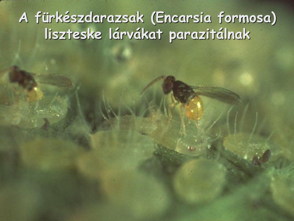 A fürkészdarazsak (Encarsia formosa) liszteske lárvákat parazitálnak
