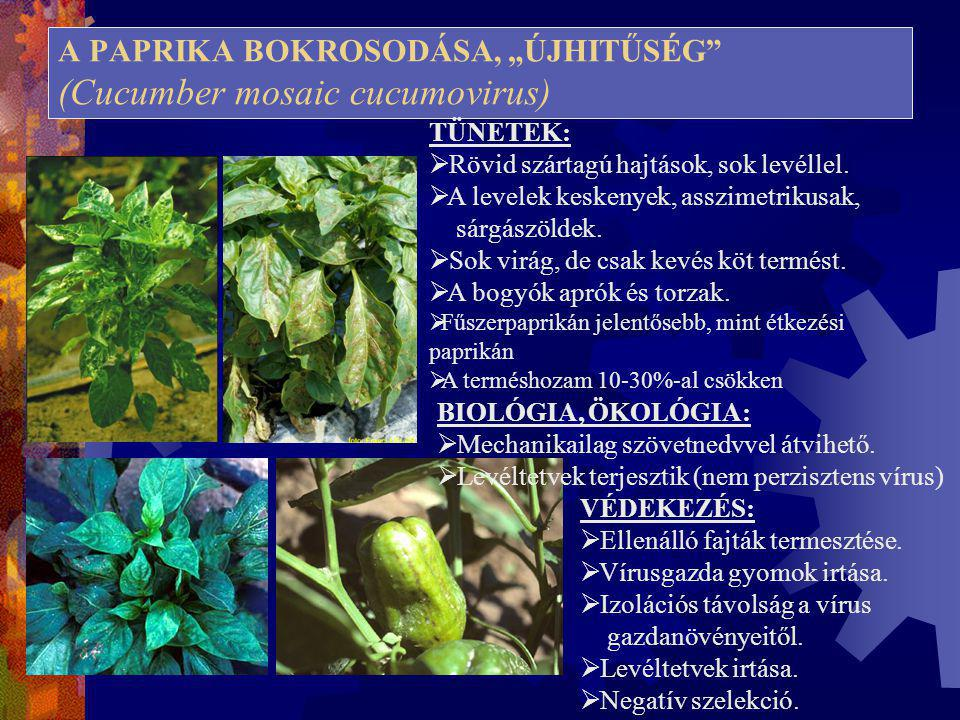 """A PAPRIKA BOKROSODÁSA, """"ÚJHITŰSÉG"""" (Cucumber mosaic cucumovirus) TÜNETEK:  Rövid szártagú hajtások, sok levéllel.  A levelek keskenyek, asszimetriku"""